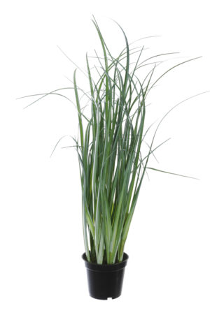 Gras in pot